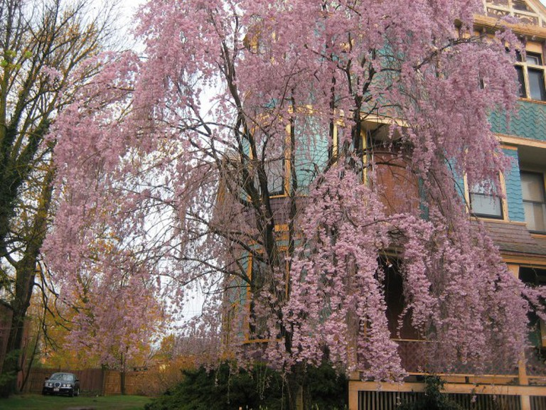 Cherry Blossom in Columbus' Olde Towne East