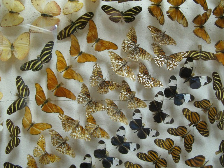 There are over 1,000 species of butterflies in Costa Rica