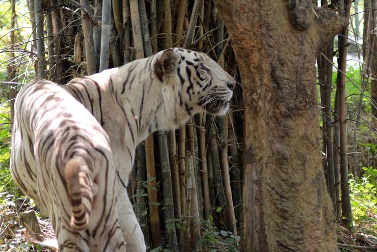 White tiger at Bannerghatta