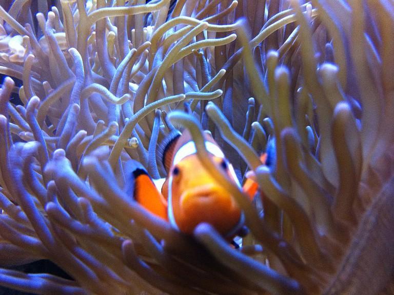 A clown fish at the Getxo Aquarium near Bilbao