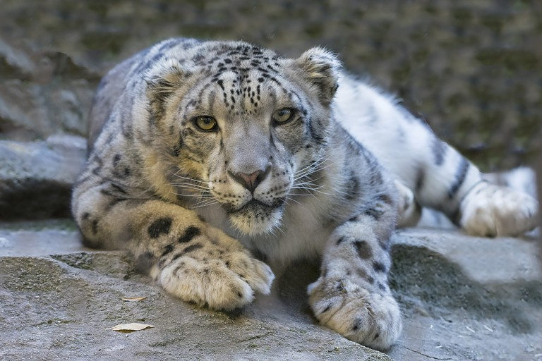 Snow Leopard at the Alaska Zoo