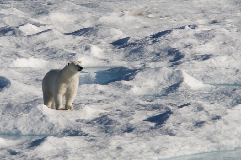 A Polar Bear in Sirmilik National Park