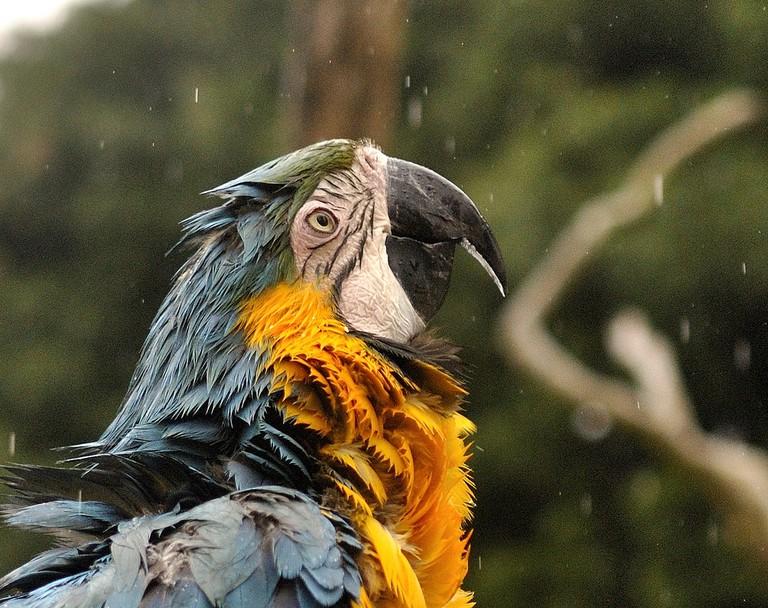 Blue & Gold Macaw in the rai