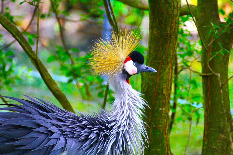 Peacock in Dresden Zoo