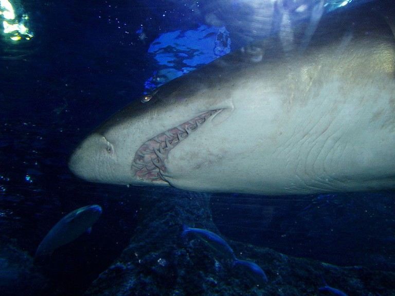 Grey nurse shark at AQWA