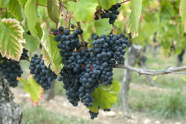 Malbec vines