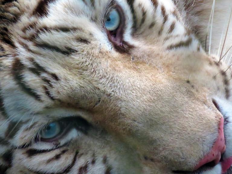 Chilean White Tiger