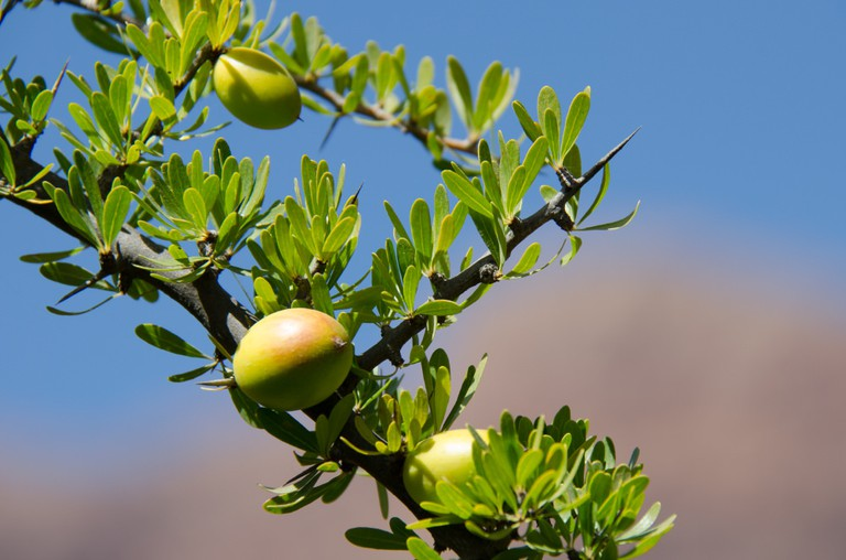 Fruit of the argan tree