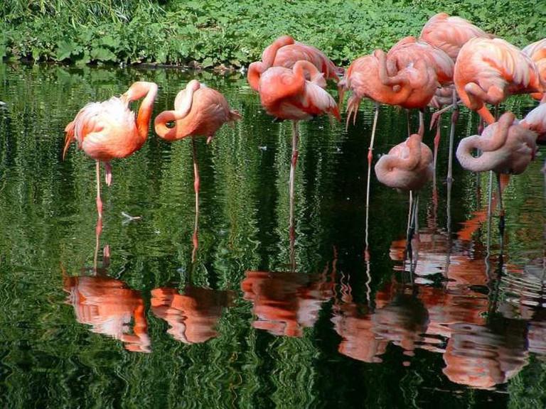 Flamingos, Heidelberg Zoo