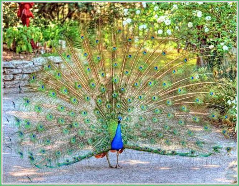 A Peacock at the Arboretum