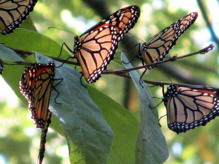 Monarchs close up