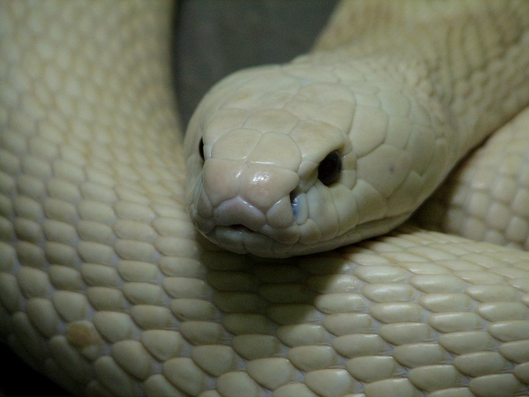 A snake at Queen Saovabha Memorial Institute