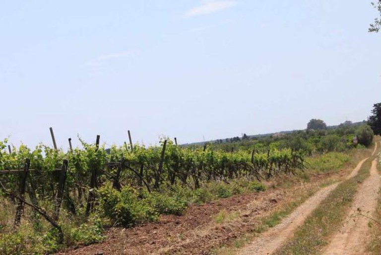 Vineyard in Puglia