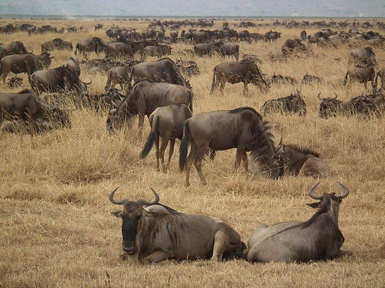 Wildebeest Connochaetes taurinus