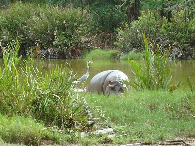 White hippopotamus