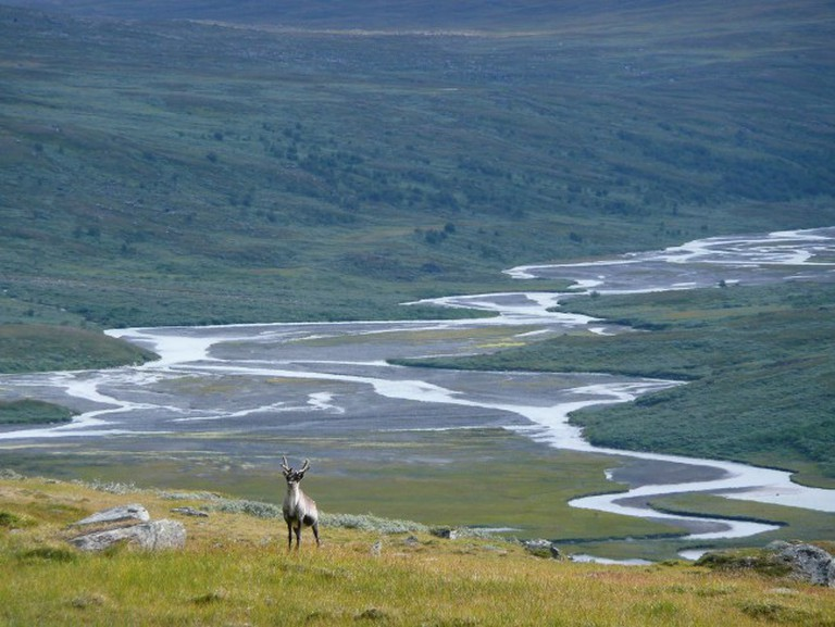 A reindeer in a valley in Sarek