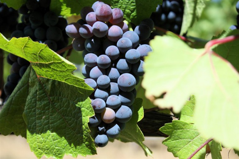 Pinot Noir Grapes in California