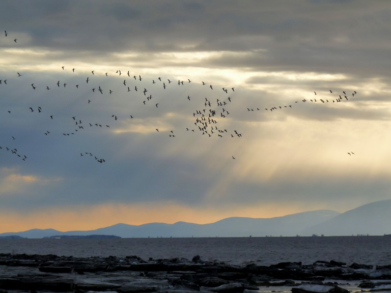 Flock of geese over the St. Lawrence River, Trois-Rivières