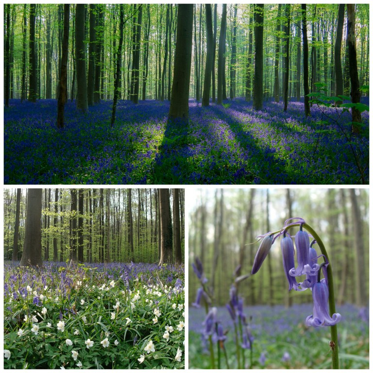 (Top) Bluebell wood, rising sun  Christophe Couckuy (Bottom left) Hallerbos in the spring   ines s. (Bottom right) An up-close shot of the bluebell   ines s.