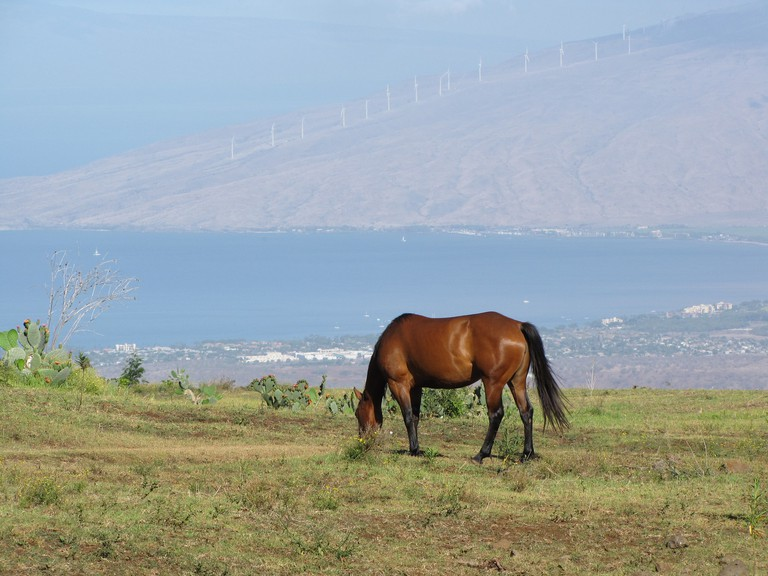 Horse in Kula, Maui | © Forest and Kim Starr/Flickr