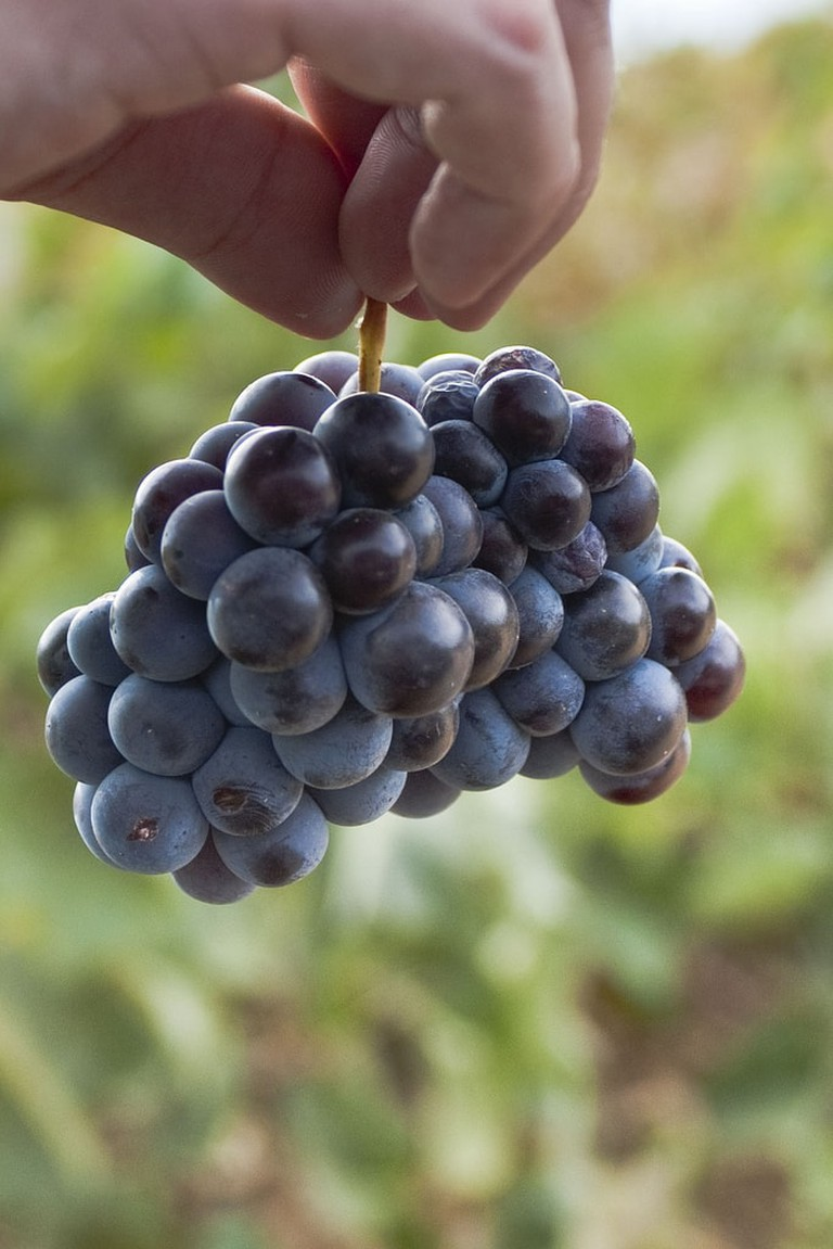 An example of some wine grapes found in Greece