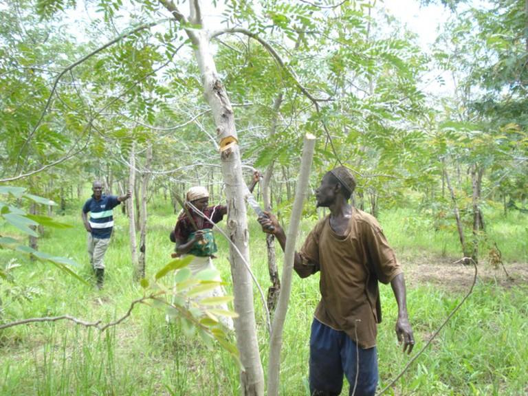 Ghana - woodlot harvesting 030