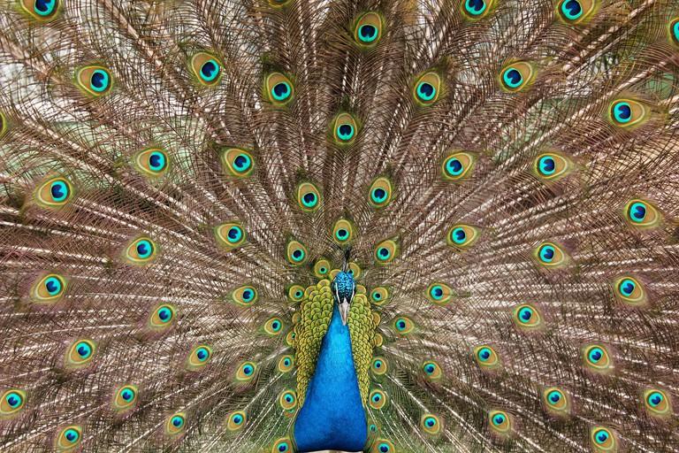 Peacock | © Mateusz Drogowski/Flickr