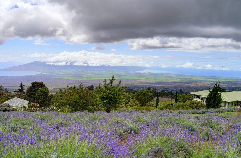 Ali'i Kula Lavender | © John Morgan/Flickr