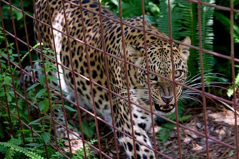 Big Cat Rescue, Tampa, Florida