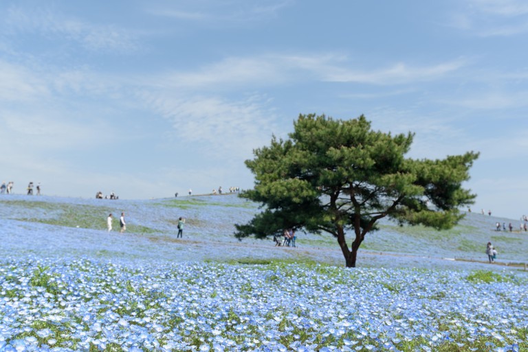 Carpet of Nemophila, Hitachi Seaside Park, Japan