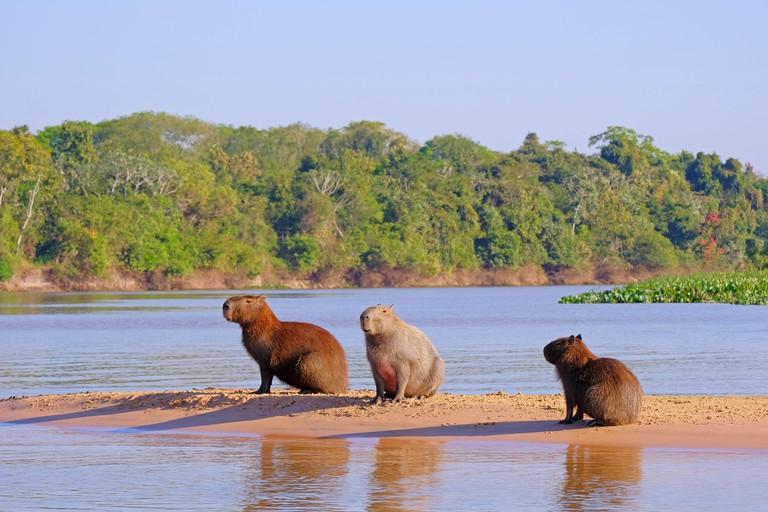 Capybara family, Hydrochoerus Hydrochaeris, also called chiguire, chiguiro and carpincho, Cuiaba River, Pantanal, Brazil