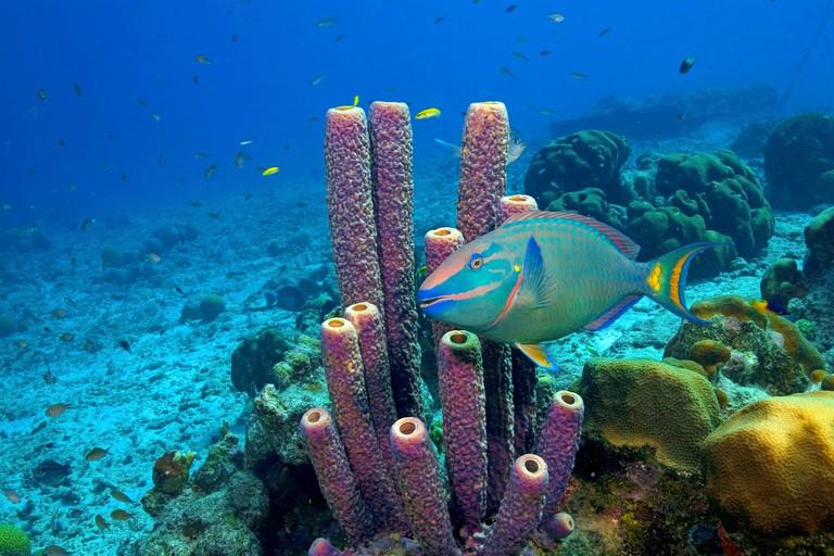 Reef scene, Stoplight parrotfish (Scarus viride) at Stove-pipe sponge (Aplysina archeri), Bonaire, Netherland Antilles