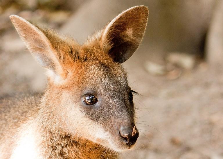Swamp wallaby portrait at Wildlife Habitat
