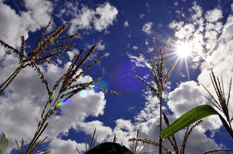 Maize near Villavicencio, on Colombia's eastern plains