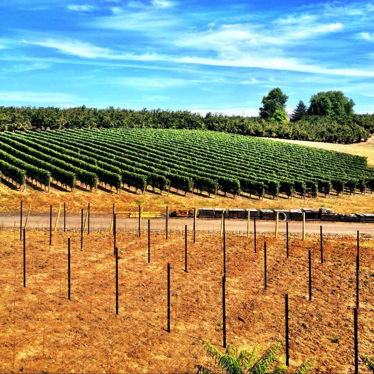 Adelsheim-Vineyard