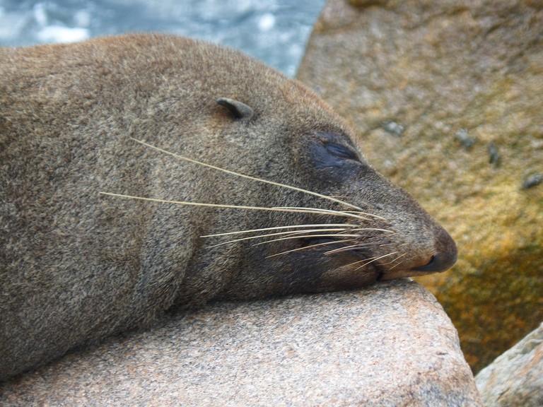 Australian fur seal © Jo Elphick / Flickr