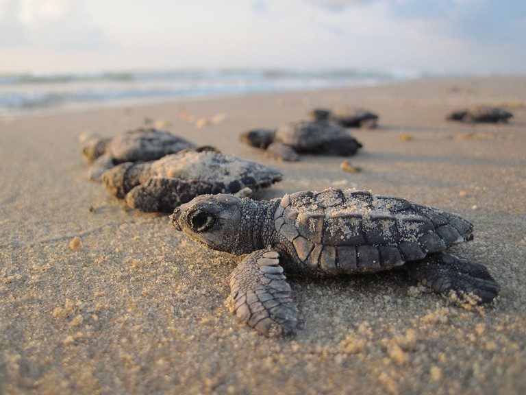 Baby sea turtles © Skeeze / Pixabay