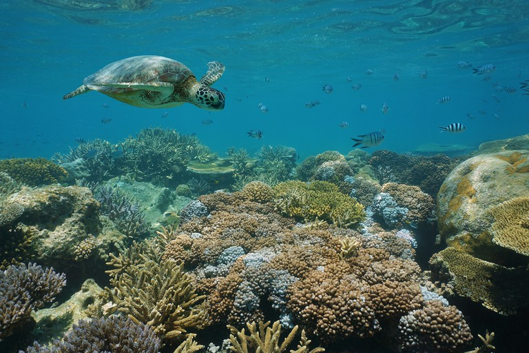 Green sea turtle underwater coral reef with fish