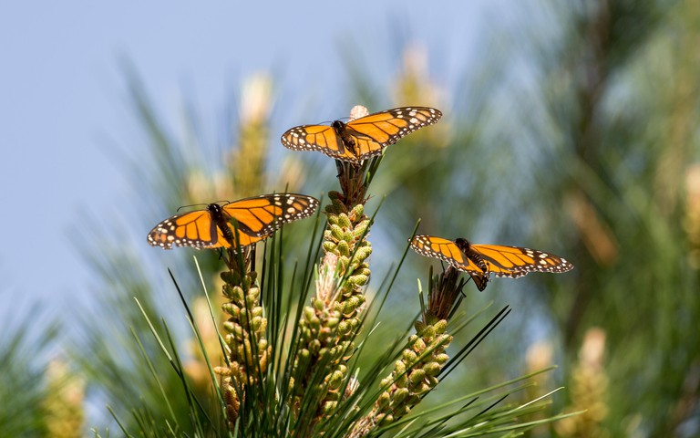 Monarch Butterflies Perched on Monterey Cypress Tree. Monarch Butterfly Sanctuary, Pacific Grove, California, USA.