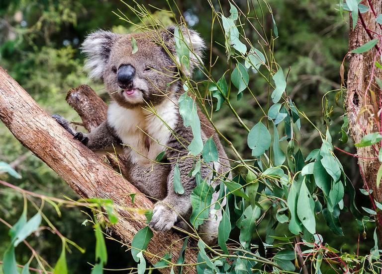 Koala at the Healesville Sanctuary © James Austin / Flickr