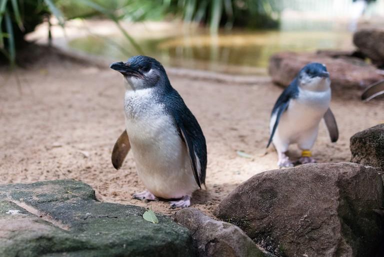 Little penguins © Matt Chan / Flickr