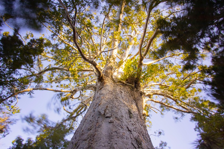Tane Moana, Giant Kauri Tree, New Zealand