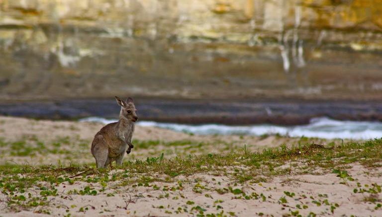 Pebbly Beach kangaroo © Kyle Taylor / Flickr