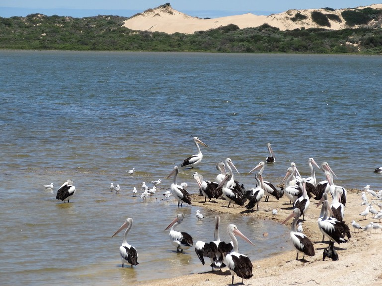 Pelicans in the Coorong National Park © denisbin / Flickr