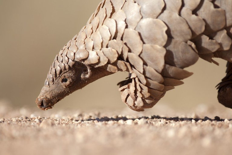 A Pangolin hunting for ants