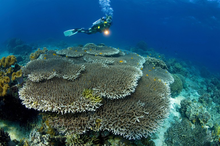 Scuba diver in a coral reef with dominating Acropora table corals (Acropora hyacinthus), Apo- reef, Dumaguete, Negros, Visayas, Philippines