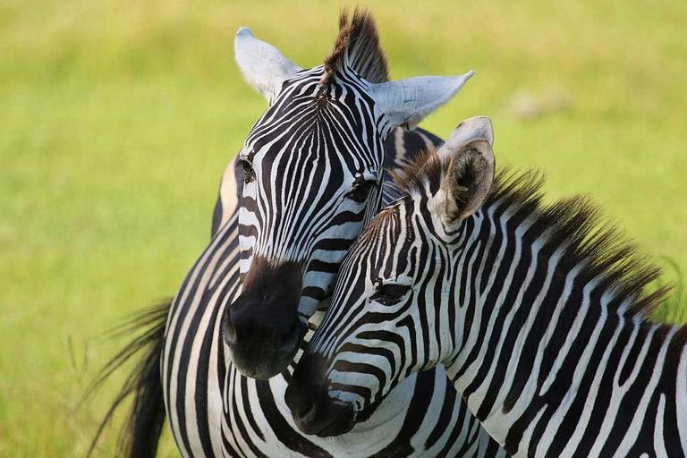 Zebras, Florida