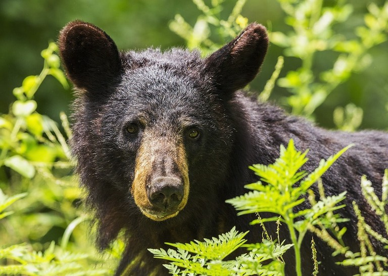 https://pixabay.com/en/black-bear-adult-portrait-wildlife-1611349/