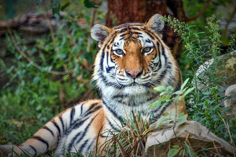 Amur tiger_Christopher Carter Saint Louis Zoo