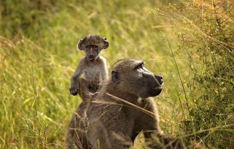 Chacma baboon with baby